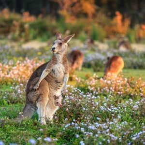Mother Kangaroo & Joey in Wildflower Field