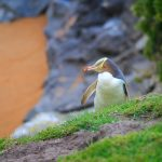 Hoiho/Yellow-Eyed Penguin, Kātiki Historic Reserve, South Island, New Zealand