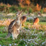 Wild-Kangaroo-in-field-of-wildflowers-with-Joey.jpg