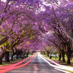 Grafton Jacaranda Festival, Grafton, NSW