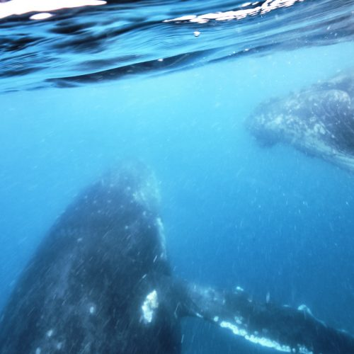 Swimming with whales - The Best Day Trip In Hervey Bay