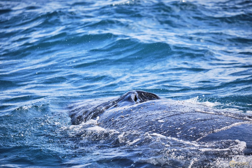 Whale watching Hervey Bay - The Best Day Trip In Hervey Bay